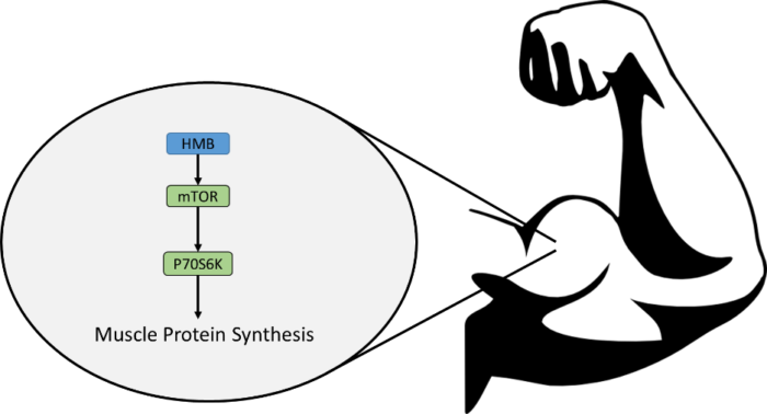 hmb in polvere per massa muscolare